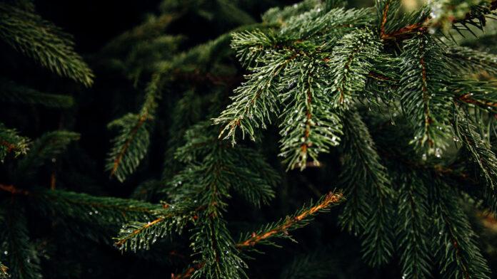 Τα χριστουγεννιάτικα δέντρα ανακυκλώνονται και δίνουν τροφή στα ψάρια!